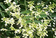 Mua bán sỉ và lẻ cây hoa hòe tại TPHCM