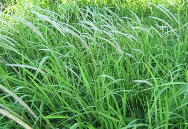 rễ cỏ tranh 1